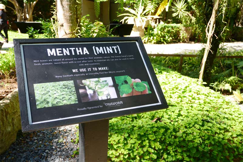 Mentha-mint-organic-phuket
