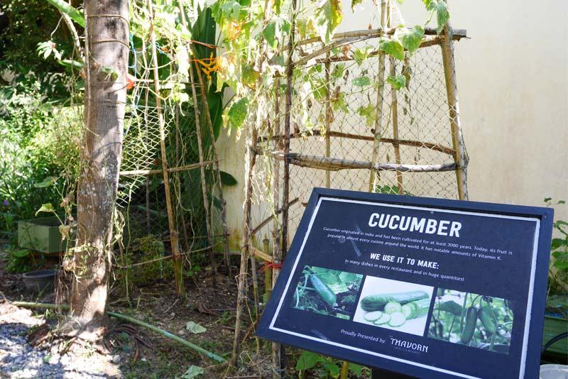 cucumber-organic-phuket