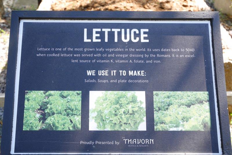 Lettuce-organic-thavorn-beach-village-phuket